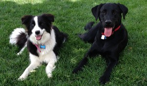 Border Collie and Black Lab receive advanced dog training.